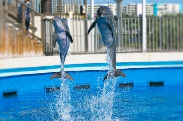 Dolphins jumping at Gulfarium Marine Adventure Park