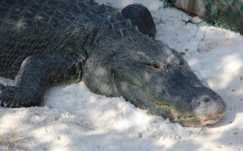 gulfarium-alligator-in-white-sand-fort-walton-beach