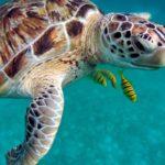sea turtle and colorful fish in Destin
