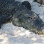 alligator exhibit at The Gulfarium