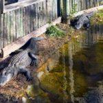 alligator feeding at Gulfarium Marine Adventure Park