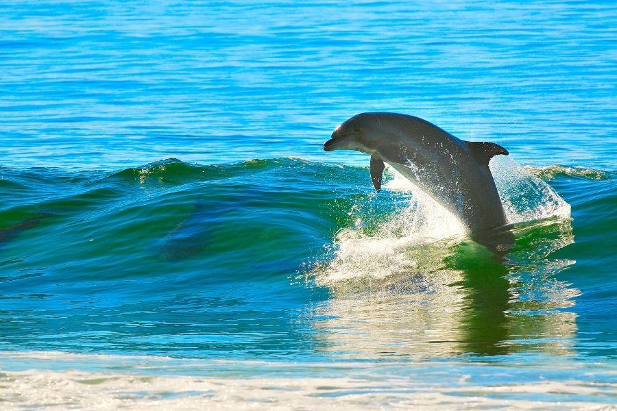 dolphin at the Okaloosa Island Boardwalk