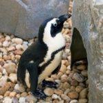 penguin exhibit at The Gulfarium