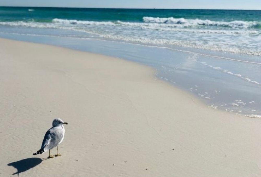 seagull at Henderson Beach State Park